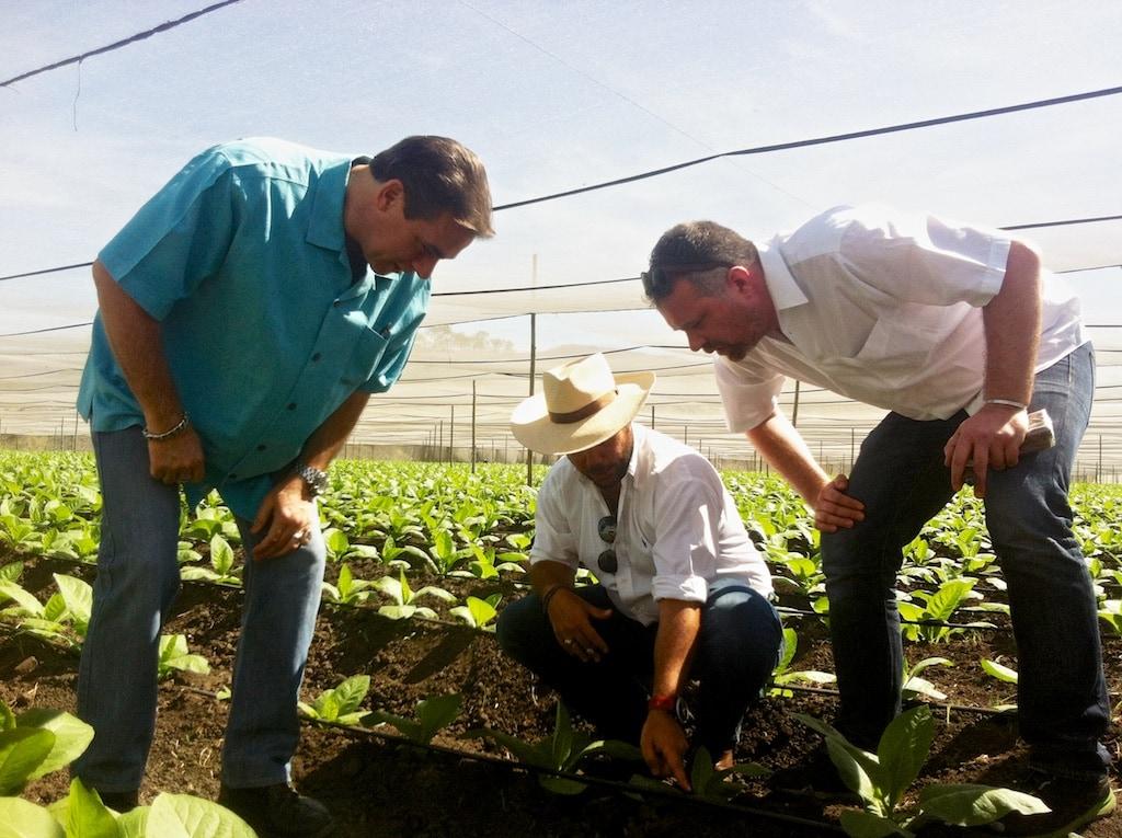 Junge Tabakpflanzen für Plasencia Zigarren