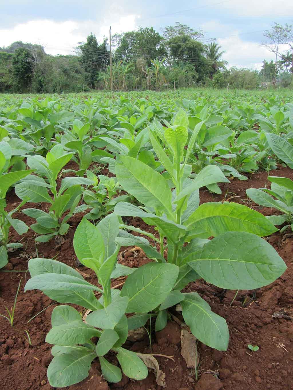Kubanische Tabakpflanze