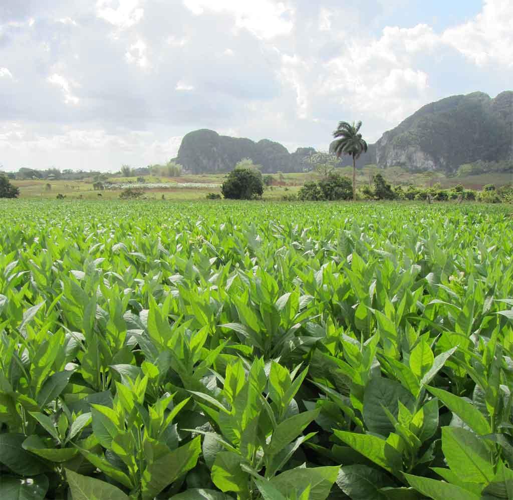 Tabakfeld Pinar del Rio Vinales