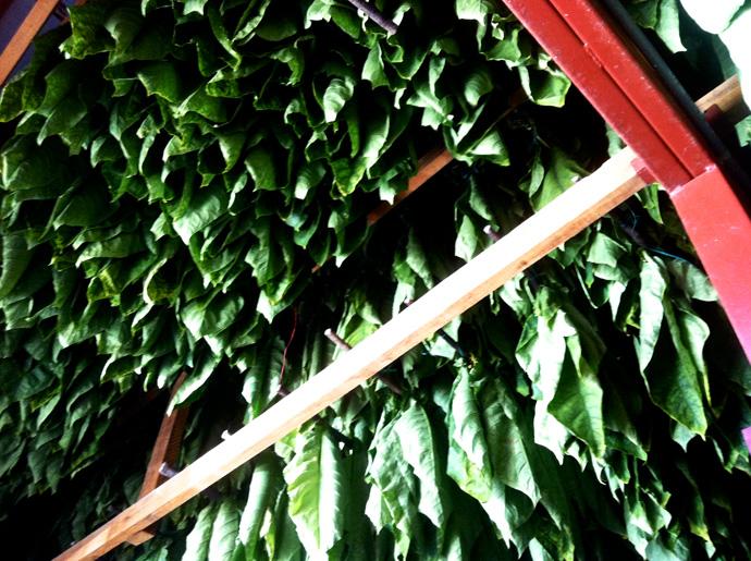 Tabak wird bei Olive Cigars getrocknet